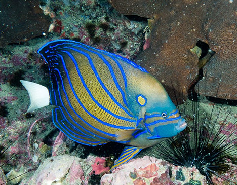 Blue Ring Angelfish Sail Rock Thailand