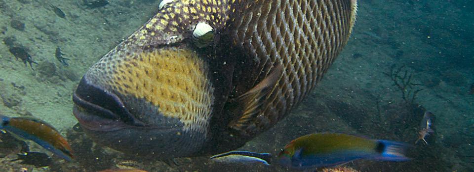 Titan triggerfish Koh Tao Thailand