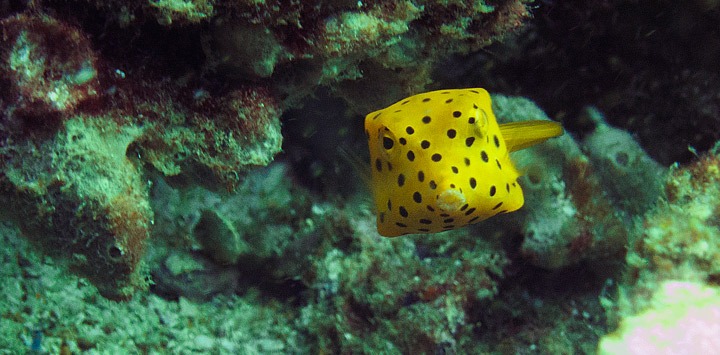 Yellow boxfish Chumphon Thailand