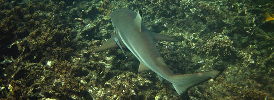 Blacktip Reef Shark Koh Tao Thailand