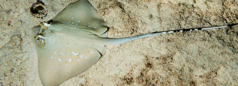 Bluespotted Stingray Koh Tao Thailand