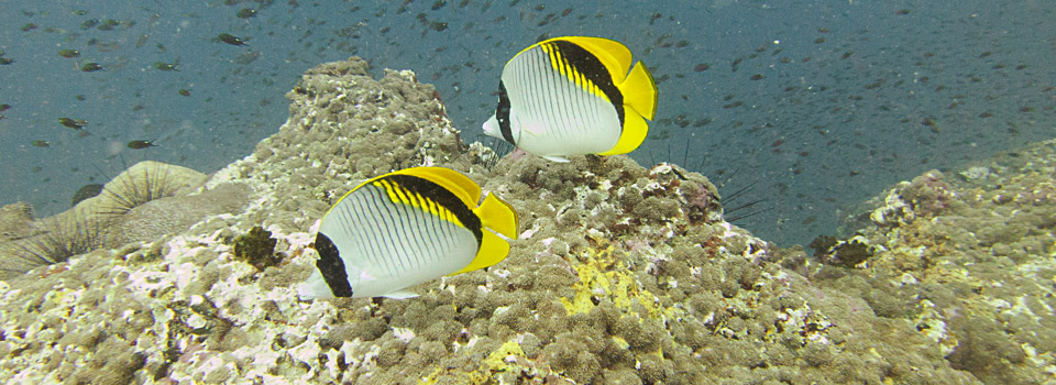 Butterflyfish Angthong Samui Thailand