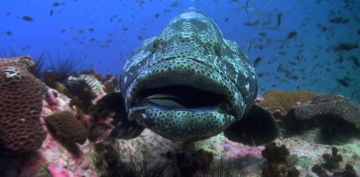 Giant Grouper Chumphon Pinnacle