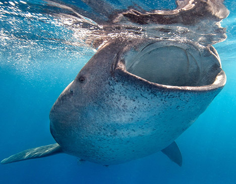 Whale Shark Chumphon Koh Samui Thailand