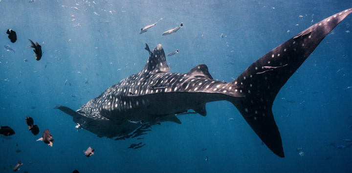 Whale Shark Chumphon Thailand