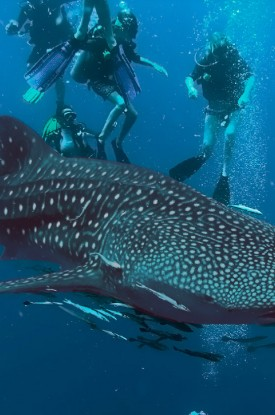 whale-shark-diving-koh-samui